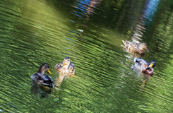 Group of mallard ducks in the green pond Stock Images