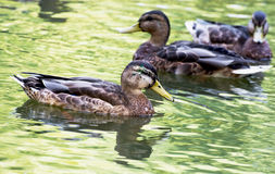 Group of mallard ducks in the pond Stock Images