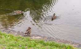 Group of mallard ducks. Royalty Free Stock Photos
