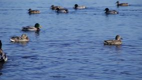 Group of mallard ducks swimming in water, duck flock floating on the river stock video