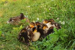 Group of mallard wild duck ducklings, laying on the grass gett. Ing ready to sleep, mother bird in background Royalty Free Stock Photos