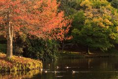 Autumn landscape: fall foliage and ducks on lake. A group of mallards swim slowly across a tranquil lake. The leaves of the trees fringing the lake are changing Stock Image