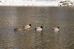 Group of Mallards Swimming. A small flock of mallards swimming on a lake Royalty Free Stock Photo