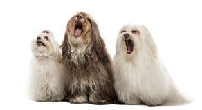 Group of Maltese dogs, yawning, sitting in a row. Isolated on white Royalty Free Stock Photography