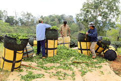 Group of man packing tea leaves Royalty Free Stock Images