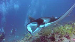 Group Manta ray and divers relax underwater in ocean Maldives. stock video