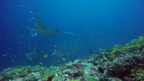 Group Manta ray relax in striped snapper school fish seabed in clear blue water. stock video