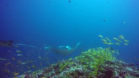 Group Manta ray relax in striped snapper school fish seabed in clear blue water. stock footage