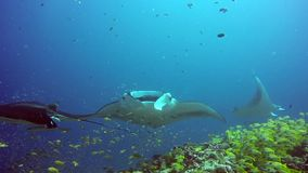 Group Manta ray relax underwater in striped snapper school fish in ocean. stock video footage