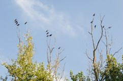 Group of many black crows standing on the dry branches of a large tree, with the background of a beautiful cloudy blue sky stock photo