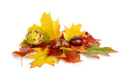 Group of many chestnuts with autumn leaves Stock Images