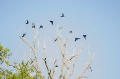 Group of many crows flying over a large dry tree, background of a clear blue sky. stock photography