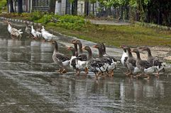 Group of many domestic ducks return  in the rain Stock Photos