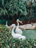 Group of many great white pelicans in natural environment outdoors. Wild animal gregarious birds Pelecanus onocrotalus sitting relaxing in park in nature among royalty free stock image