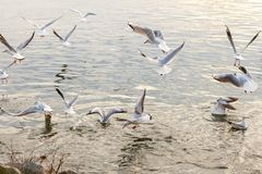 Group of many laughing gulls Larus ridibundus feedet in the river by people stock image