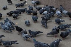 Group of many pigeons eating on the city street.  stock image