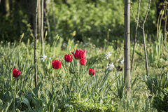Group of many red tulips Royalty Free Stock Images