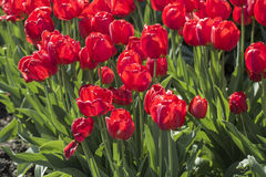 Group of many red tulips Royalty Free Stock Photography