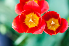 Group of many red tulips Stock Photography