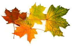 Group of maple leaves #2 stock photography