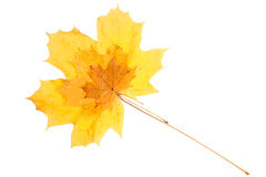 Group of maple leaves of different sizes Royalty Free Stock Images