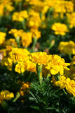 Group Of Marigold. Group of yellow marigold, vertical view Stock Images