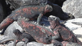 A group of The Marine Iguana, Amblyrhynchus cristatus, from the Galapagos stock footage
