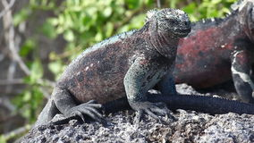A group of The Marine Iguana, Amblyrhynchus cristatus, sunning in the Galapagos stock video