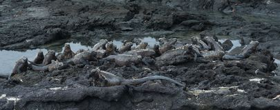 Group of marine Iguana on Galapagos Islands Royalty Free Stock Image
