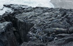 Group of marine Iguana on Galapagos Islands Stock Images