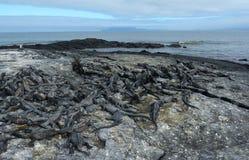 Group of marine Iguana on Galapagos Islands Stock Photos