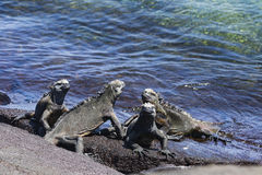 A group of Marine Iguanas Royalty Free Stock Images
