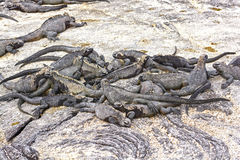 A group of Marine Iguanas on Shore Royalty Free Stock Photos