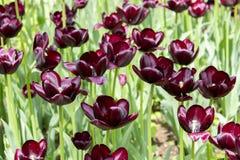 Group maroon dark red wine tulips, cultivated varietal tulips dark color. flowers almost black tulips. Group maroon dark red wine tulips, cultivated varietal royalty free stock photography
