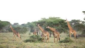 A group of Masai Giraffe in Ndutu, Serengeti, Tanzania. A group of Masai Giraffe in Ndutu, Serengeti National Park, Tanzania Stock Photo