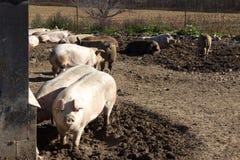 Group of mature hogs. A group of mature hogs on a small Wisconsin dairy farm Royalty Free Stock Photo