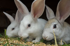 Group of meat domestic rabbits eating cereal grain in farm hutch Stock Photos