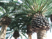 Group of Mediterranean Palm Trees Closeup. Royalty Free Stock Photo