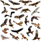 Group of medium sized diurnal birds of prey Stock Image