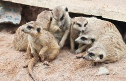 Group of Meerkat close up Royalty Free Stock Images