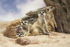 Group of meerkat. Portrait group of meerkat sit on sand with nature frame Stock Photos