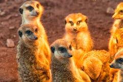 The Group Meerkat sunbathing Royalty Free Stock Photography