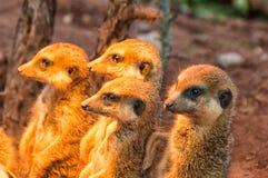 The Group Meerkat sunbathing I Stock Photos