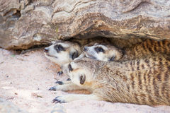 Group of meerkat (Suricata suricatta) sleeping under the timber Royalty Free Stock Photography