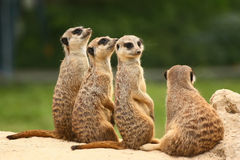 Group of Meerkats. Meerkats all sit together and look at the sky, but one of them looks at the opposite side Royalty Free Stock Images