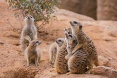 Group of meerkats Stock Image
