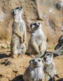 Group of meerkats stock photos