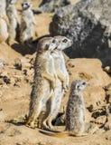 Group of meerkats royalty free stock photo