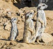 Group of meerkats royalty free stock photos