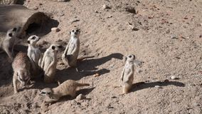 Group of meerkats funny suricates stock video
